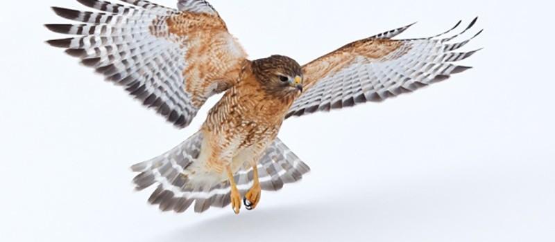 hunting-hawk
